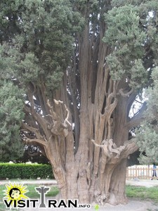 One of the oldest trees in the world